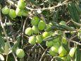 olivi3
